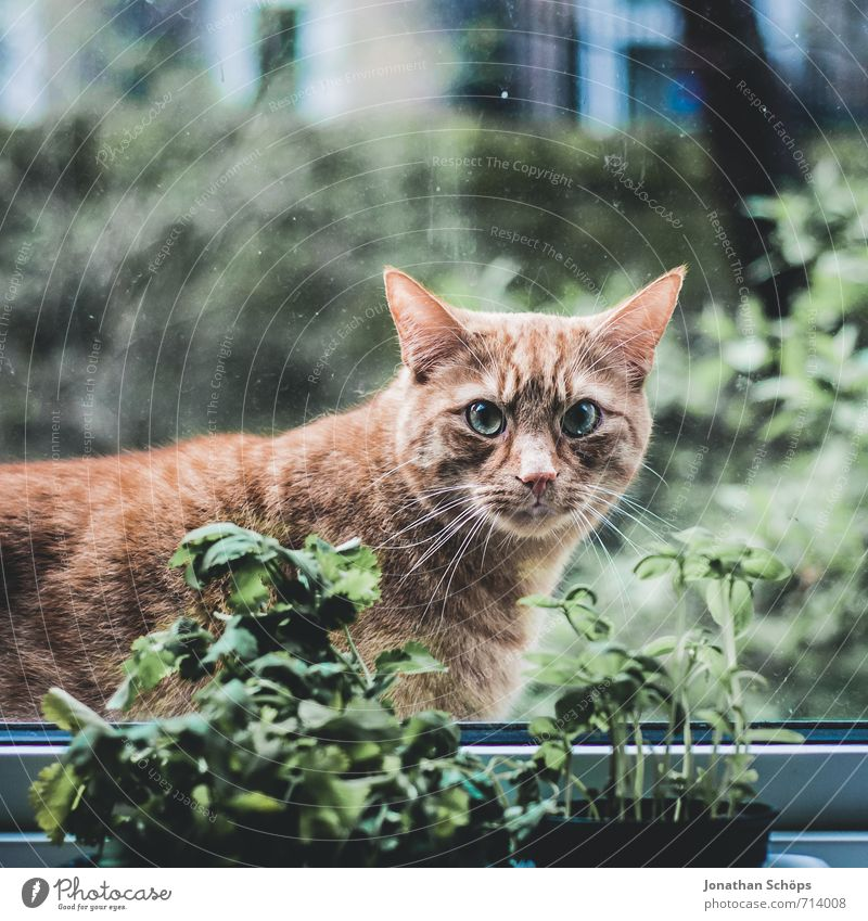 Cat Green Animal Window Eyes Funny Brown Orange Observe Cute Curiosity Ear Herbs and spices Watchfulness Pet Animalistic