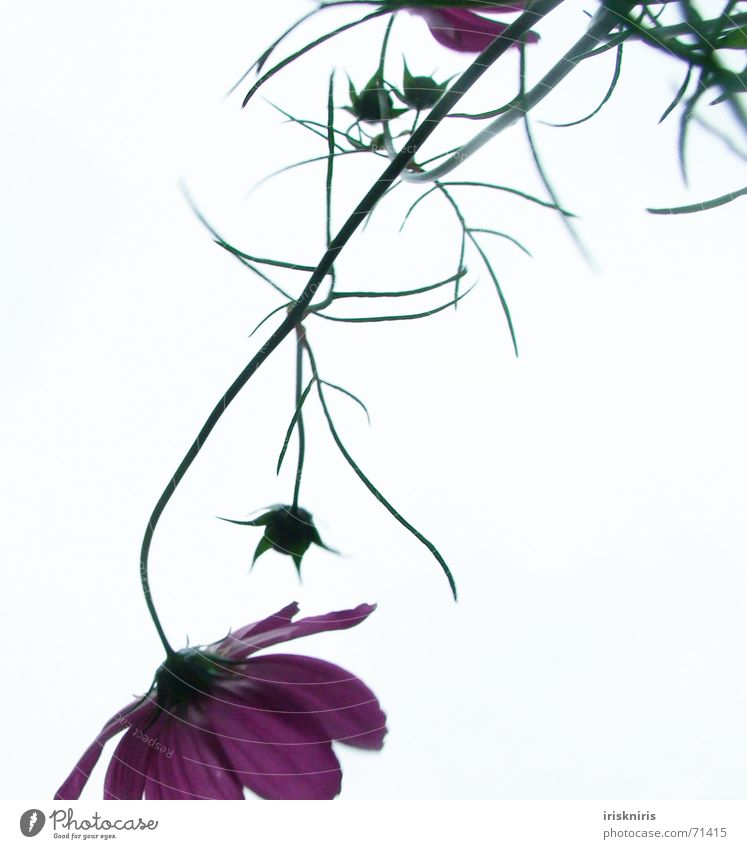 Sky Flower Plant Summer Blossom Pink Elegant Delicate Stalk Blade of grass Graceful Fragile Inverted Suspended Cosmos
