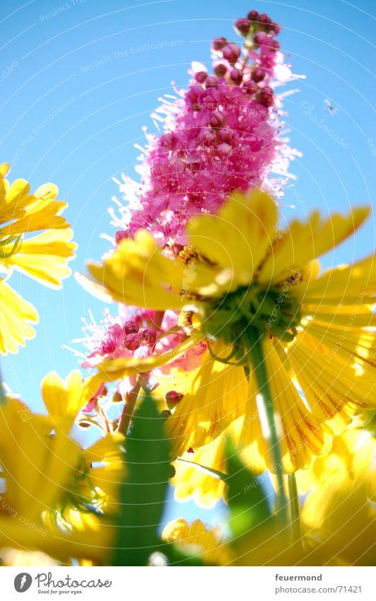 Sun Flower Summer Joy Yellow Colour Blossom Garden Happy Bright Happiness