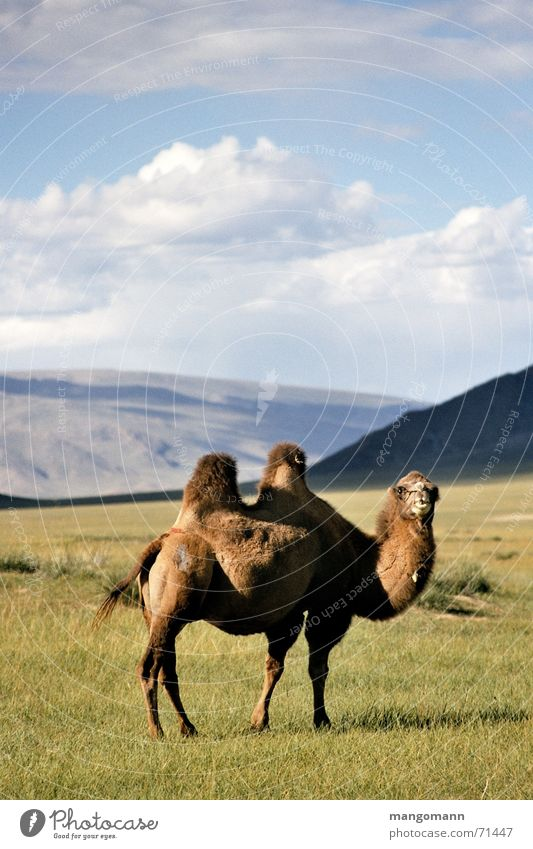 camel Mongolia Steppe Animal Camel Asia Sky Silhouette Hair and hairstyles