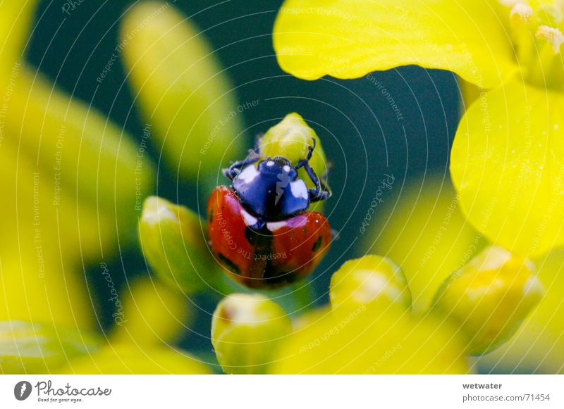 Nature Flower Red Summer Joy Black Yellow Jump Blossom Spring Small Insect Point Ladybird Beetle Fragile