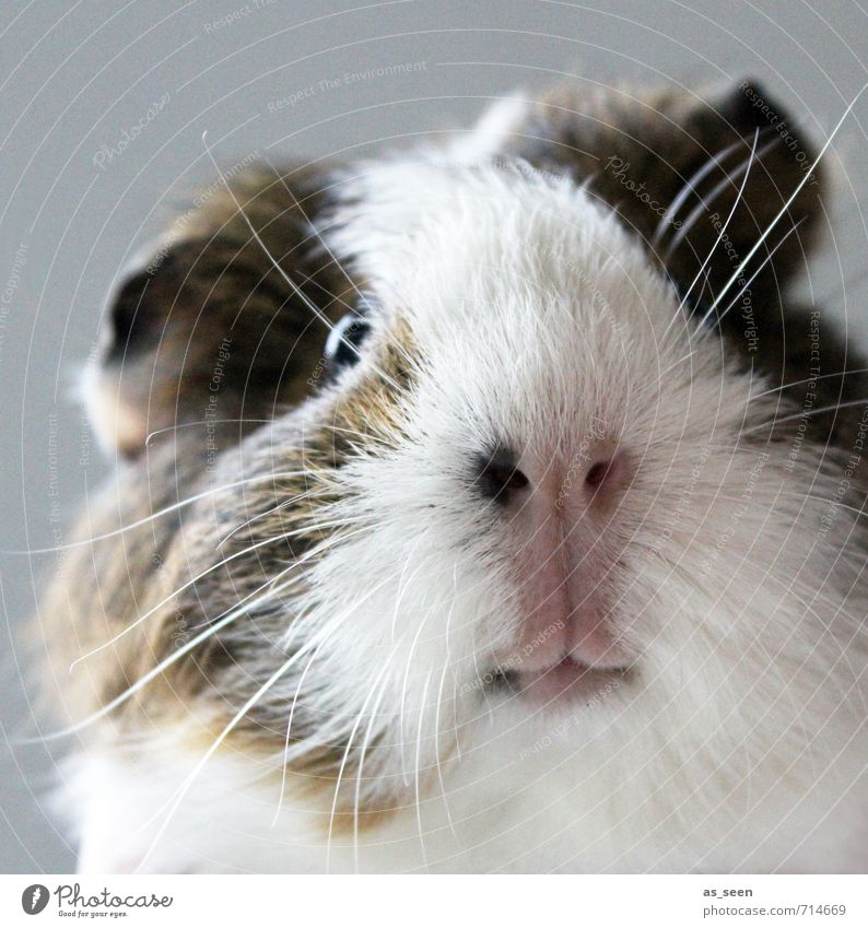 ?! Animal Facial hair Pet Animal face Petting zoo Guinea pig 1 Touch Looking Authentic Brash Cuddly Funny Nature Natural Curiosity Cute Positive Soft Brown Pink