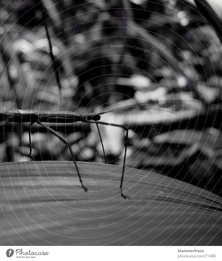 Living branch Animal Insect Virgin forest Macro (Extreme close-up) Seychelles living branch Branch jungle Black & white photo black/white