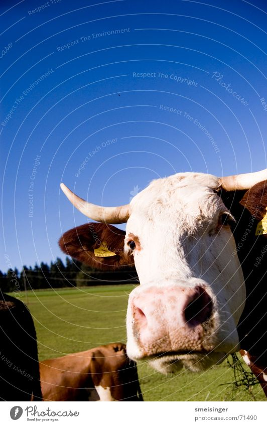 Sky Blue Green Clouds Eyes Meadow Grass Happy Field Nose Happiness Good Pasture Agriculture Cow Antlers