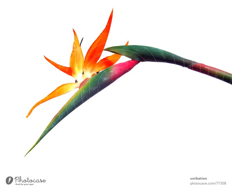 White Flower Green Plant Blossom Orange Pink Isolated Image Stalk Blossoming Statue Exotic Artificial flowers Strelizia Strelitzia Bird of paradise