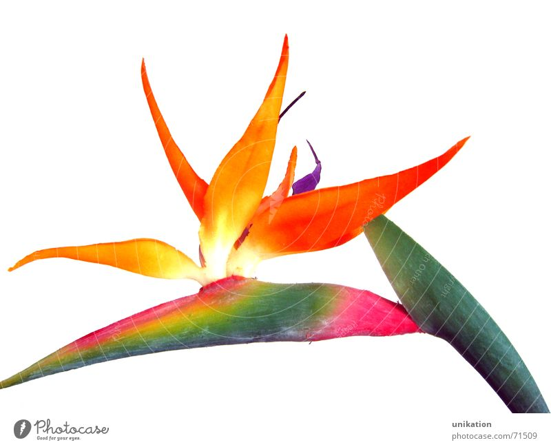 White Flower Green Plant Blossom Orange Pink Stalk Blossoming Statue Exotic Artificial flowers Strelizia Strelitzia Bird of paradise Bright background