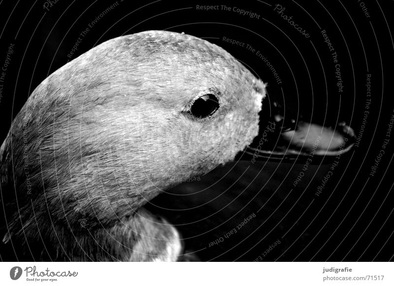 duck portrait Animal Bird Beak Soft Black Gray Black & white photo Duck Eyes Feather Looking Side Smooth