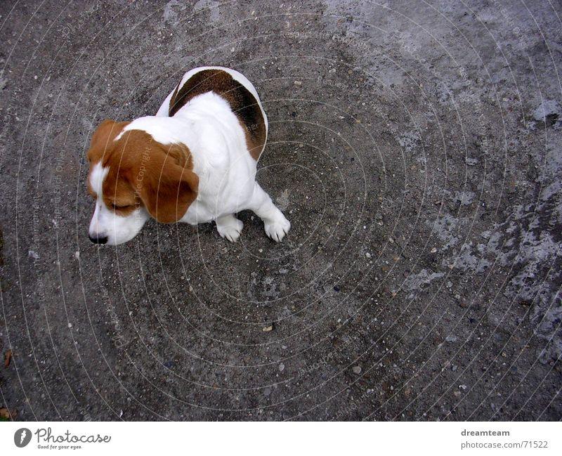 Meggloff Dog Beagle Lop ears Concrete Cow Dream Gray Brown Black White meggloff Ear Patch Gravel