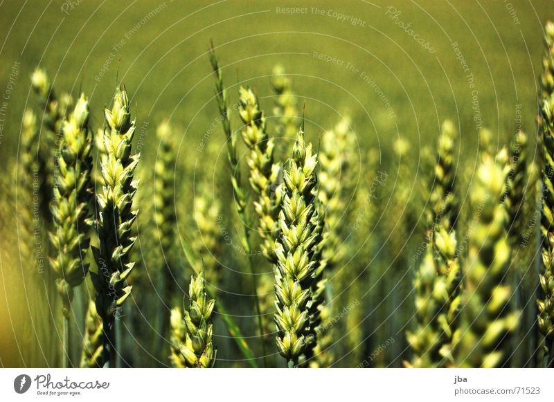 Green Background picture Field Wind Food Multiple Nutrition Stand Many Harvest Depth of field Meal Ear of corn Full