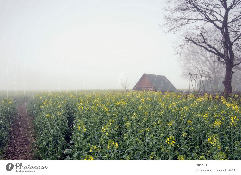 spring fog Landscape Horizon Spring Fog Field Hut Lanes & trails Canola field Agriculture Tree Agricultural crop Raw materials and fuels Renewable raw materials