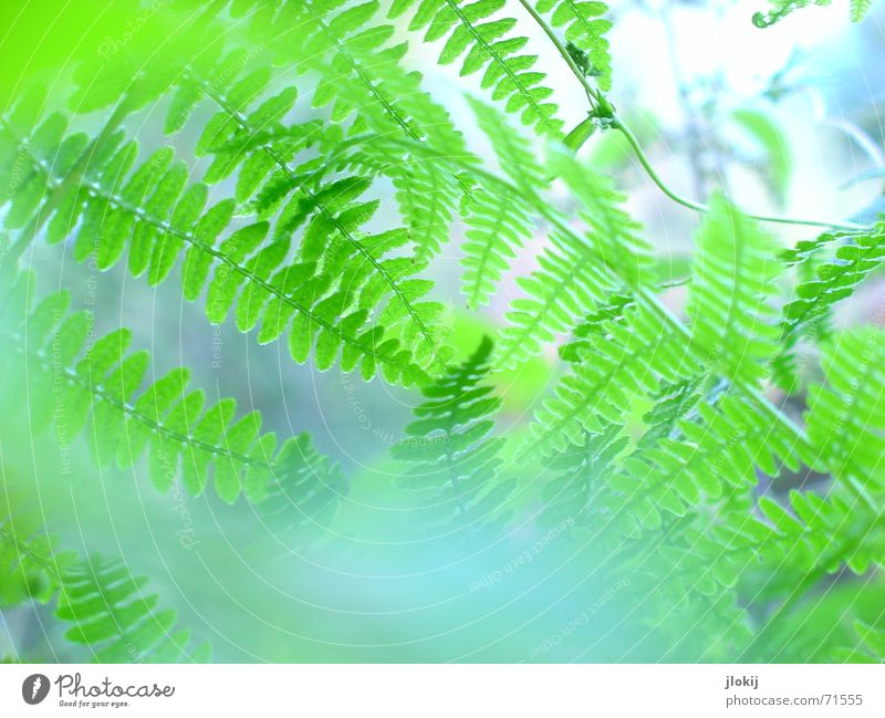 Much Fern Plant Green Nature Life Blur Fog Light Biology Washed out Delicate Soft Pteridopsida leaves Macro (Extreme close-up) Blue wag Graffiti Bright