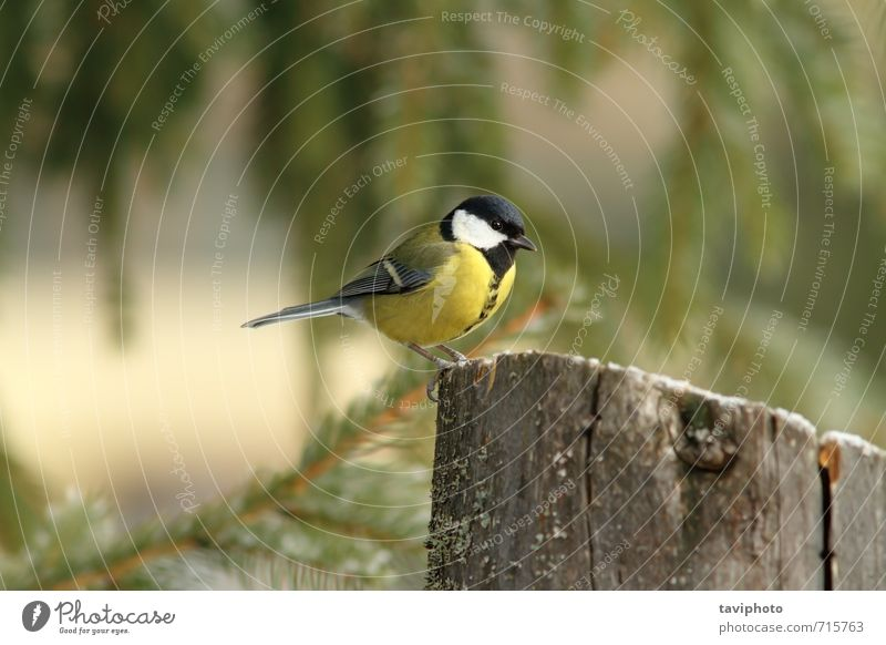 great tit standing on a stump Beautiful Life Winter Garden Environment Nature Animal Park Forest Bird Observe Sit Small Funny Natural Wild Yellow Green Black