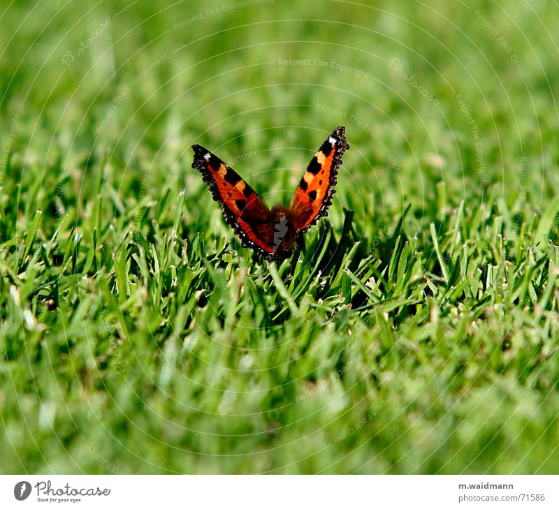 butterfly Butterfly Grass Cut Summer Meadow Field Insect Wing