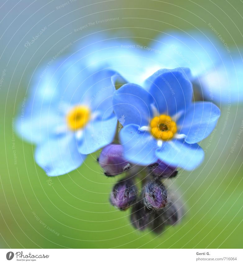 forget me not Nature Plant Flower Wild plant Forget-me-not Garden Small Near Soft Blue Green Emotions Delicate Vulnerable Colour photo Exterior shot Close-up