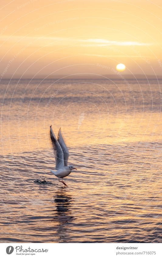 upswing Vacation & Travel Beach Water Drops of water Weather Beautiful weather Waves Coast Baltic Sea Ocean Animal Bird Seagull seabird 1 Flying Colour photo