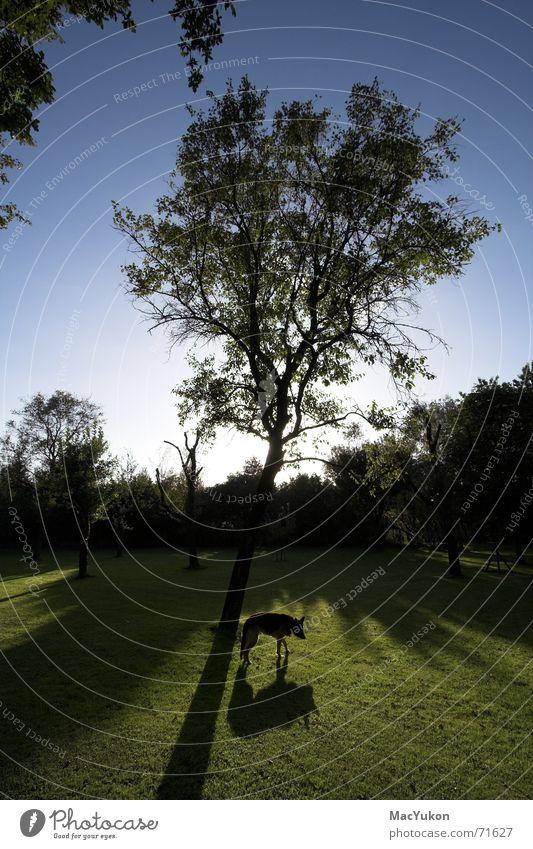 shadow tree Tree Dog Grass Wide angle Back-light Meadow Shadow Sky Blue Lawn Sun German Shepherd Dog