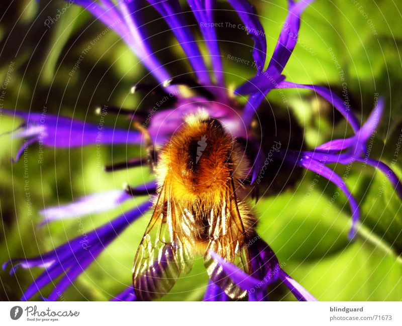 Bombus @ centaurea triumfettii Plant Violet Blossom Summer Esthetic Knapweed Daisy Family Ornamental plant Bumble bee Collection Honey Insect Diligent 6 Yellow