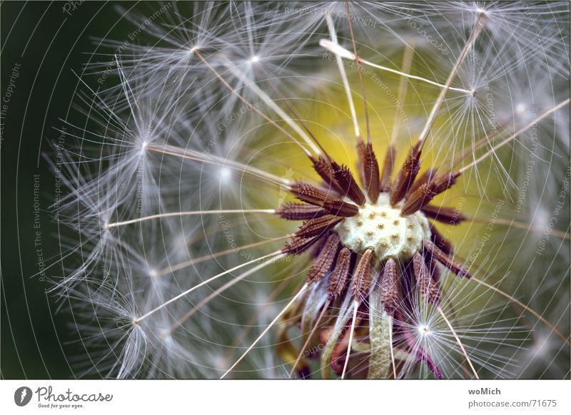 blow Dandelion Blow Plant Flower Spore Meadow Summer Blossoming Seed Pistil Wind Close-up Macro (Extreme close-up)