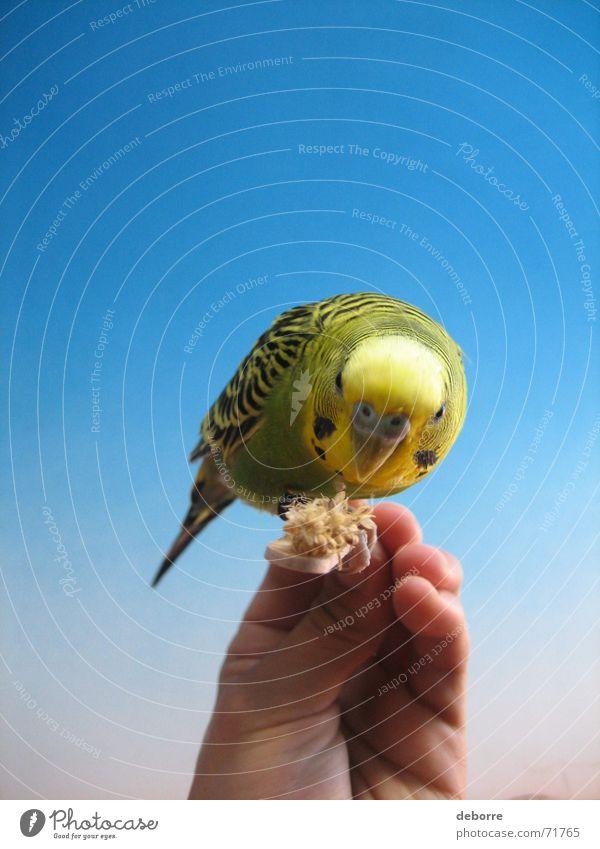 bird Bird Animal Zoo Air Peace Hand Pet Yellow Green Small Blue Flying Freedom Smooth Bird 'flu