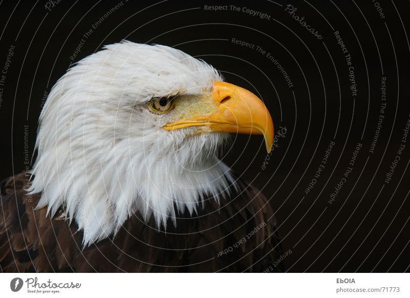 bald eagle Bird Eagle Bald eagle White-tailed eagle Animal hellenthal wildpark. open-air enclosure
