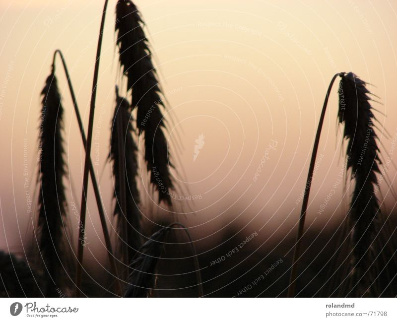Nature Moody Field Grain Blade of grass Dusk Wheat Ear of corn