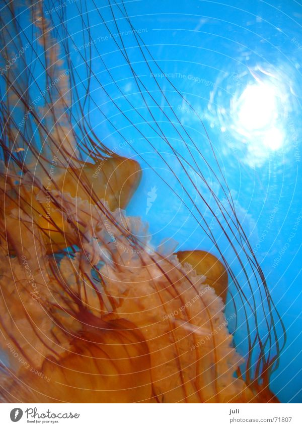 Ocean Blue Orange Aquarium Jellyfish Australia Melbourne