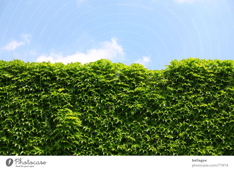Nature Green Blue Leaf Clouds Wall (barrier) Line Growth Vine Hedge Frontal Everywhere Frontier fortifications