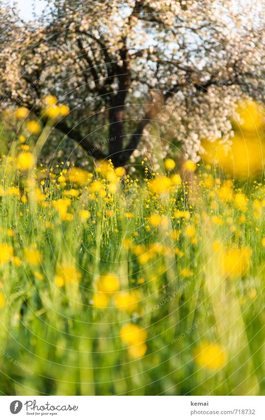 summer meadow dive Environment Nature Landscape Plant Sun Sunlight Spring Summer Beautiful weather Flower Foliage plant Fruit trees Apple tree Apple blossom
