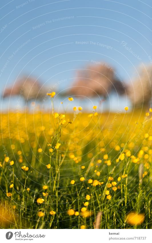 Yellow splendour III Environment Nature Landscape Plant Sky Cloudless sky Summer Beautiful weather Warmth Tree Flower Grass Blossom Wild plant Crowfoot