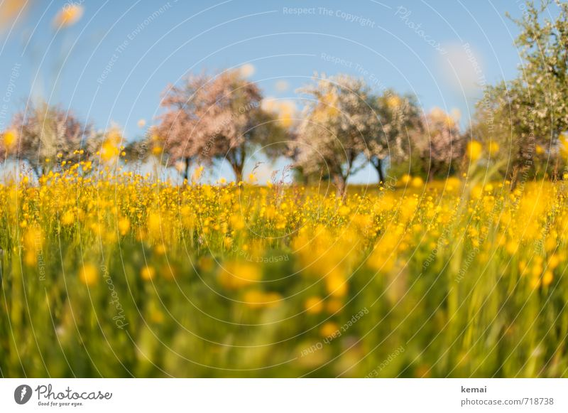 Yellow splendour II Environment Nature Landscape Plant Sky Sunlight Spring Beautiful weather Tree Flower Grass Blossom Agricultural crop Wild plant Crowfoot