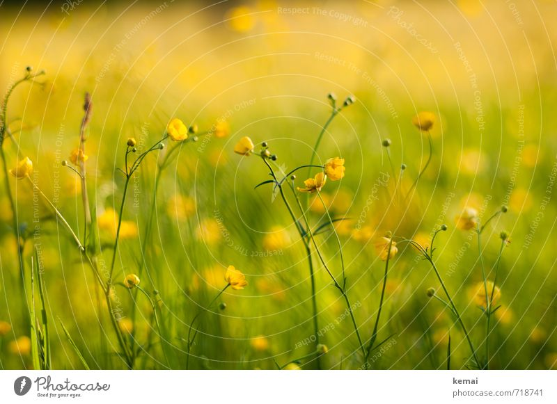 Yellow splendour III Environment Nature Plant Sunlight Spring Beautiful weather Warmth Flower Blossom Crowfoot Meadow Blossoming Growth Fresh Green Spring fever