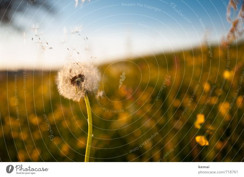 Be fruitful and multiply Environment Nature Landscape Plant Cloudless sky Sunlight Spring Beautiful weather Flower Blossom Foliage plant Dandelion Crowfoot