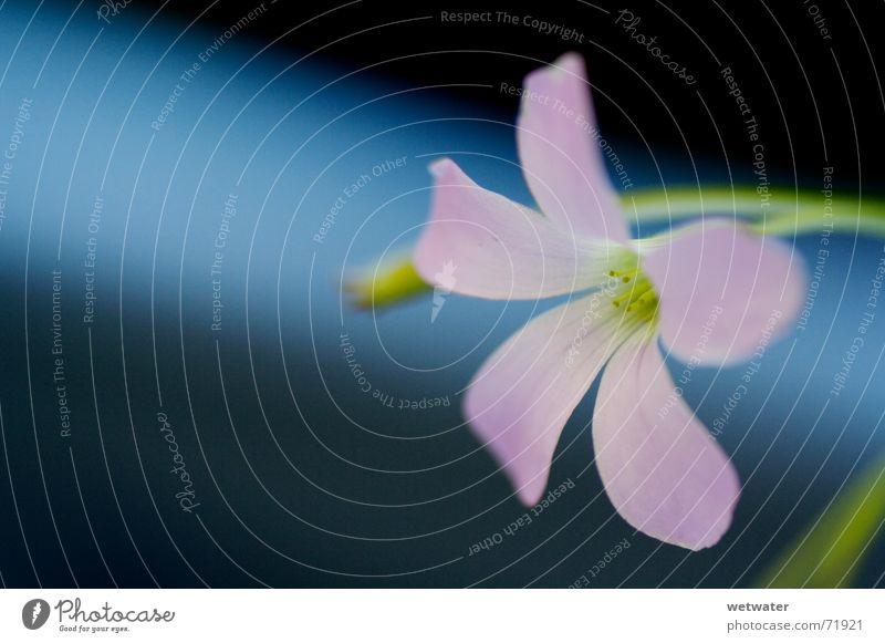 pink blossom Pink Blossom Flower Green Delicate Soft Fragile Nature Spring Houseplant Clover blue dof Bluish Contrast room