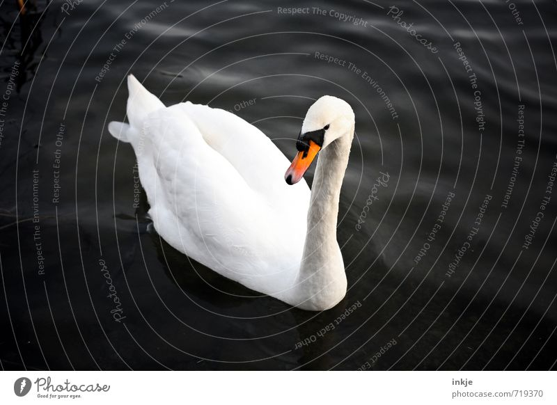 Nature Beautiful White Water Animal Black Swimming & Bathing Natural Elegant Idyll Wild animal Feather Clean Uniqueness Float in the water Pure