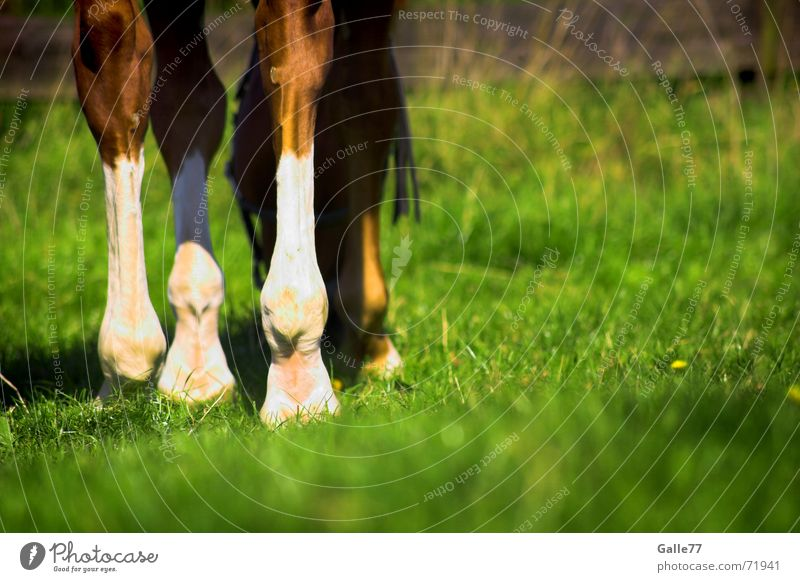 Horse on the meadow Meadow Grass To feed Summer Calm To enjoy Legs Pasture Appetite Nutrition