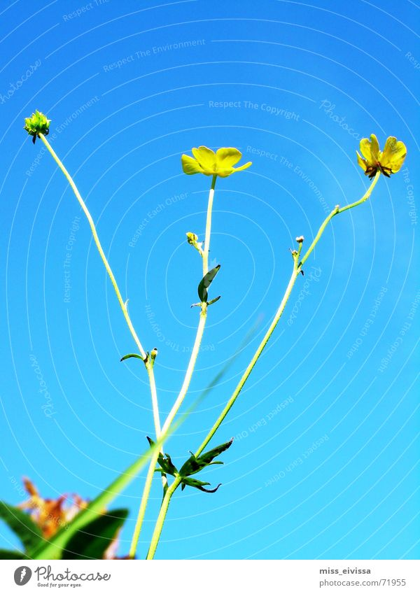 buttercup Meadow Summer Flower Blossom Green Sky Dandelion Nature Blue Beautiful weather Exterior shot
