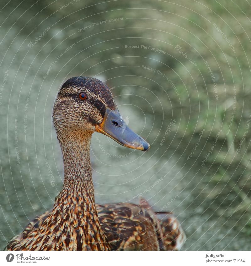 mallard duck Mallard Bird Feather Brown Pattern Duck Neck Eyes Looking Wing Smooth
