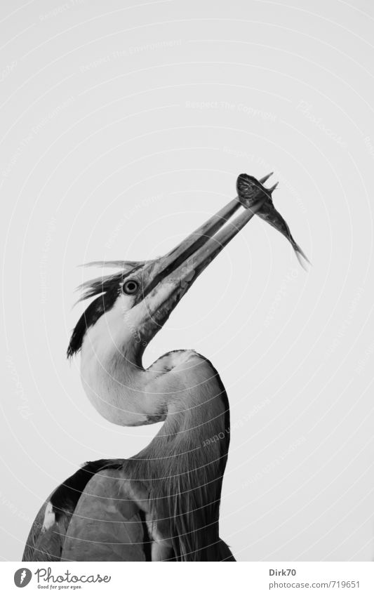 Eat and be eaten Nature Animal Istanbul Turkey Wild animal Bird Fish Heron Grey heron Animal portrait 2 To feed Hunting Stand Esthetic Delicious Natural