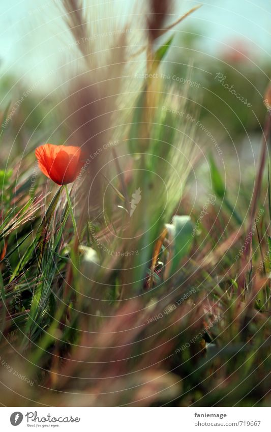 coquelicot Environment Nature Plant Flower Grass Blossom Garden Park Meadow Deserted Beautiful Blue Brown Green Red Poppy Poppy blossom Poppy field