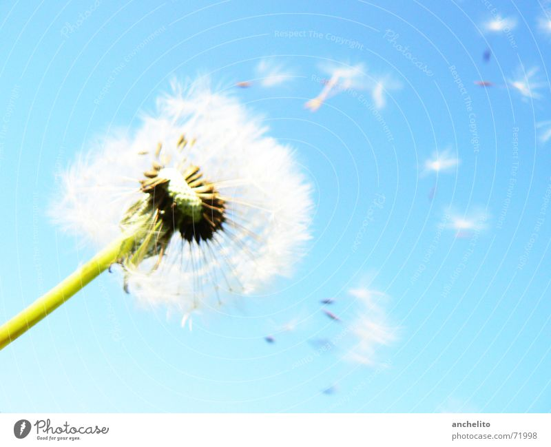 The Answer, My Friend, Is Still Blowing In The Wind Dandelion Flower Nature Green White Sky Blue sky Clear sky Flake Blossom Calm Summer Sun