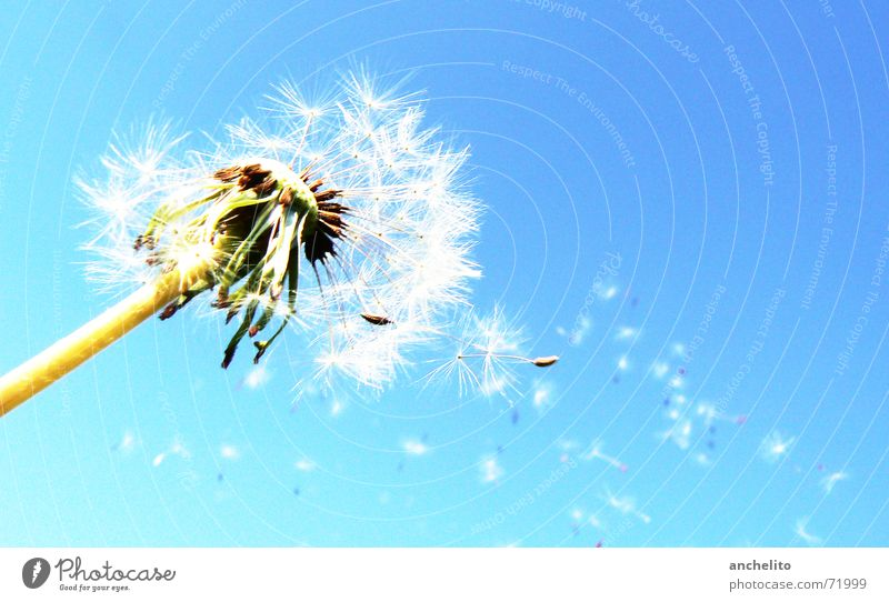 The Answer, My Friend, Is Blowing In The Wind Dandelion Flower Nature Green White Sky Blue sky Clear sky Flake Blossom Calm Summer Sun Macro (Extreme close-up)