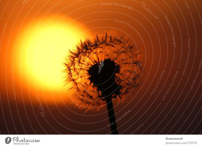 and kitsch again :) Dandelion Sunset Night Romance Transience Shadow Kitsch sunrise Evening