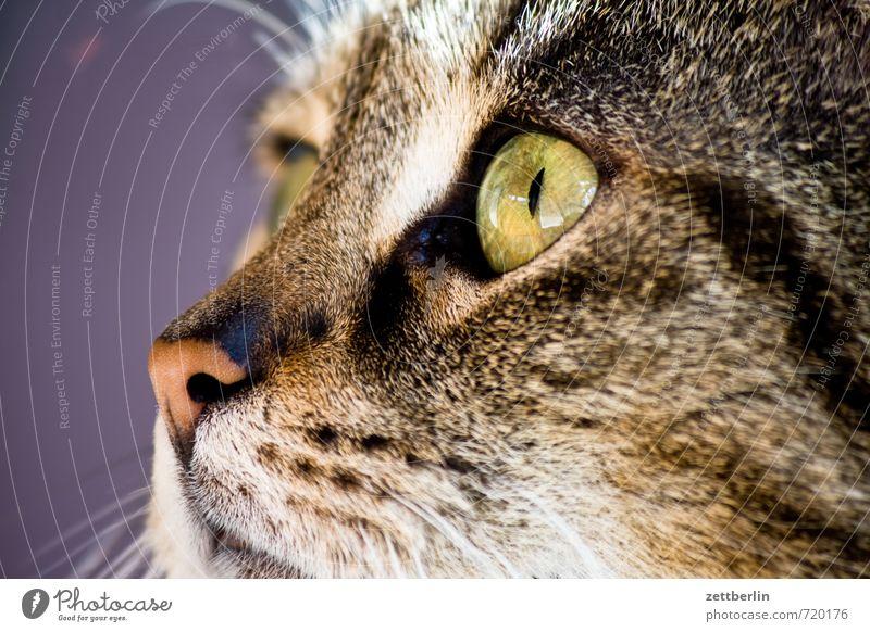 mini Cat Animal Fur-bearing animal Animal portrait Looking Sideways Profile Eyes Nose Hair and hairstyles Cat lover Cat eyes Cat's head Allergy