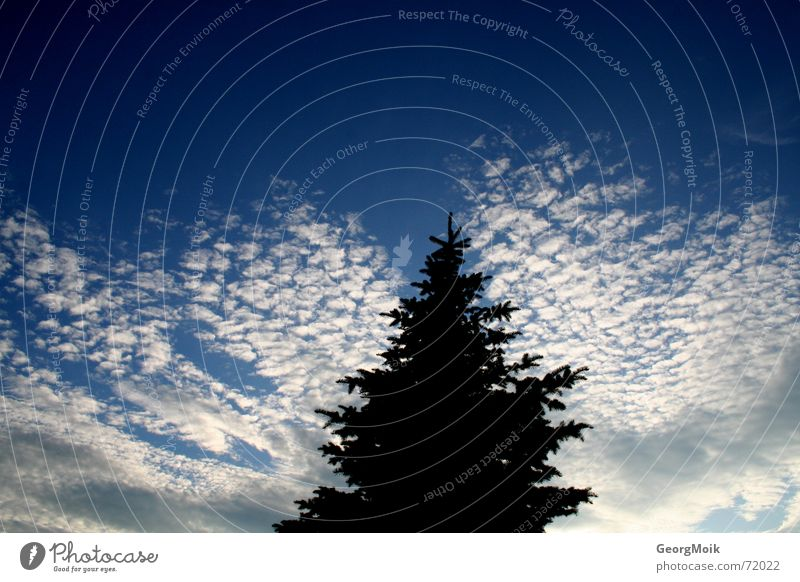 Invasion of Cirrocumulus Sky Clouds Altocumulus floccus White Black Fir tree Christmas tree Spruce Silhouette cloud small fleecy clouds Blue dark fir Graffiti