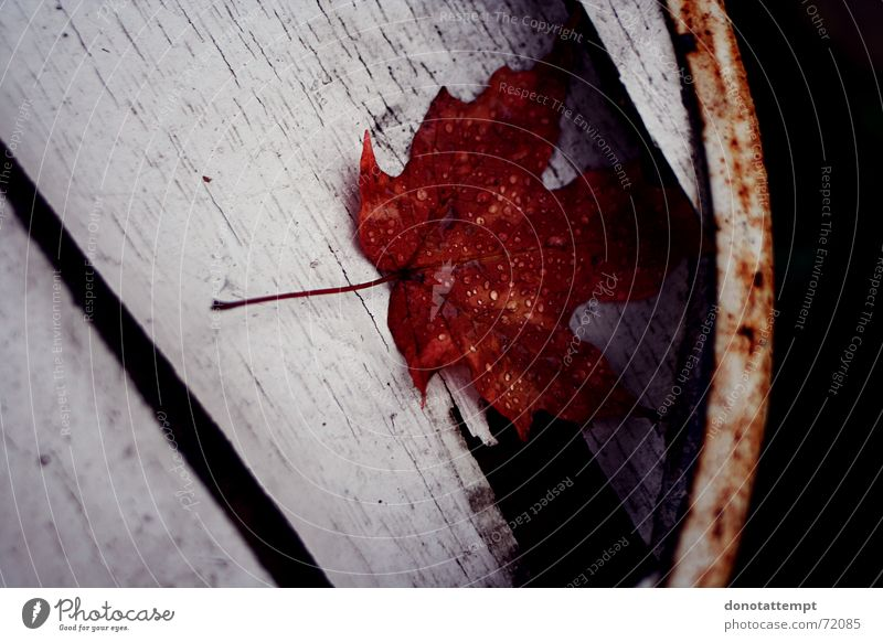 red leaf. Leaf Red Plant Autumn wet leaf margin Drops of water