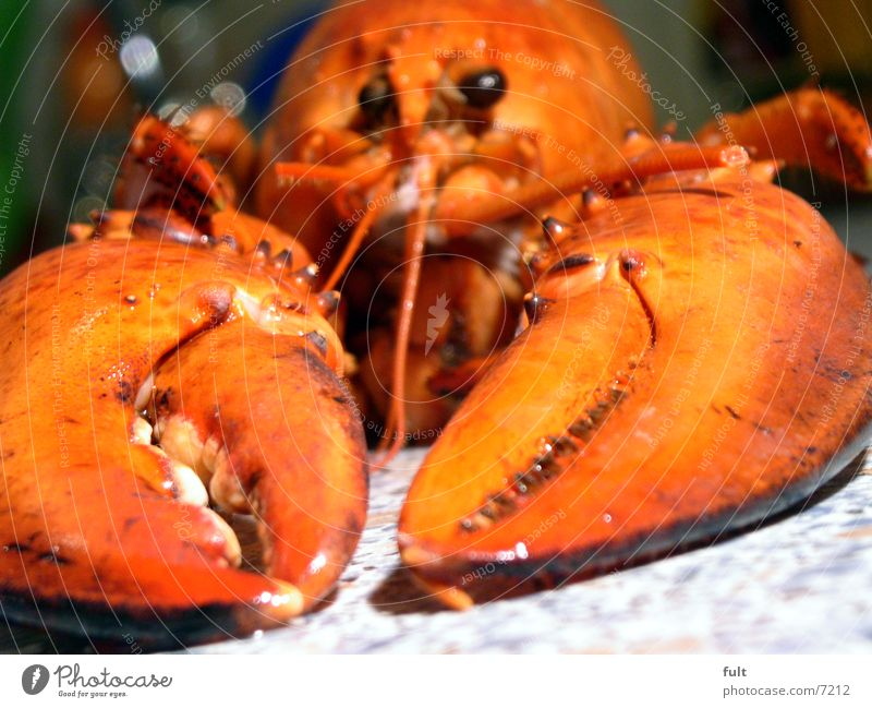 hummer Lobster Pair of pliers Red Pince-nez Lake Ocean Animal Nutrition Motionless Hard Seafood Nature Eyes Death Lie low Appetite Marine animal Fish Claw