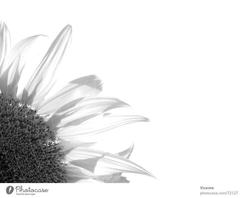 Nature White Flower Plant Black Gray Corner Sunflower Blossom leave Monochrome