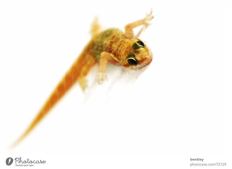 Animal Small Sweet Observe Grinning Crawl Reptiles Egypt Amphibian Saurians Gecko Lizards Salamander
