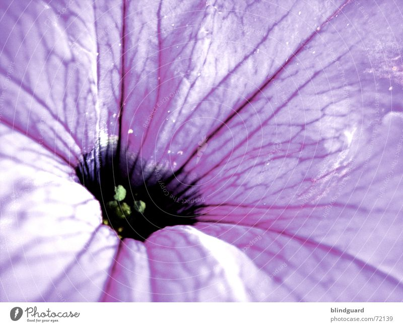 Beautiful Plant Summer Flower Joy Relaxation Dark Life Blossom Bright Violet Mysterious Delicate Fragrance Smooth Strange
