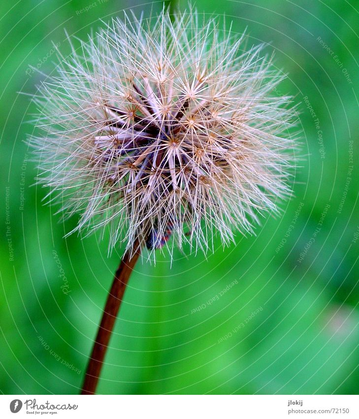 nursery Dandelion Green Plant Flower Summer Nature Macro (Extreme close-up) Faded